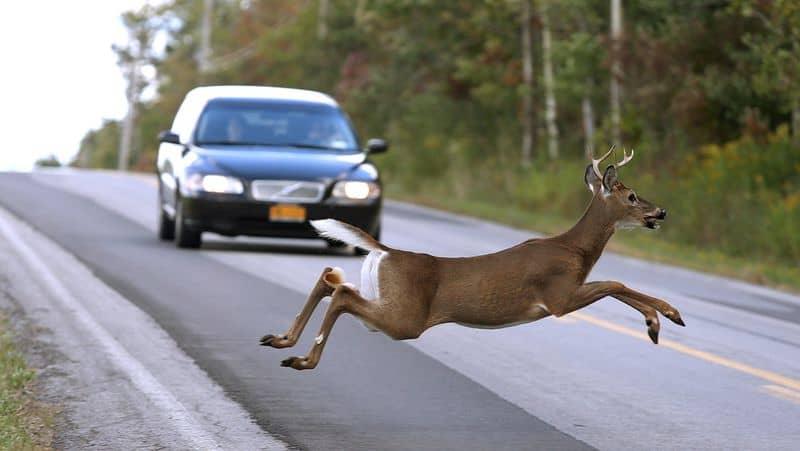 deer running in front of car